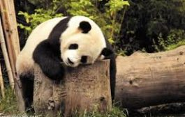الباندا صعب الإرضاء في علاقاته العاطفية!